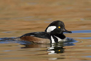 Hooded Merganser (Lophodytes cucullatus) male, New Mexico - Alan Murphy