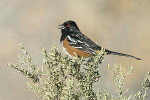 Spotted Towhee (Pipilo maculatus) male calling, New Mexico  -  Alan Murphy