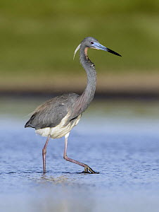 Tricolored Heron (Egretta tricolor) wading, Texas  -  Alan Murphy
