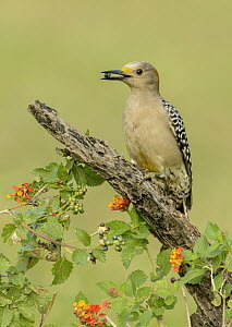 Golden-fronted Woodpecker (Melanerpes aurifrons) female feeding on berries, Texas  -  Alan Murphy