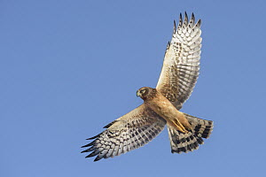 Northern Harrier (Circus cyaneus) female flying, Texas - Alan Murphy