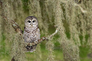 Barred Owl (Strix varia), Texas - Alan Murphy
