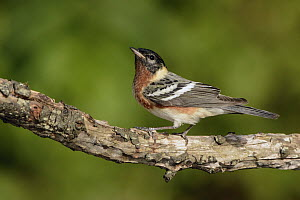 Bay-breasted Warbler (Setophaga castanea) male, Texas  -  Alan Murphy