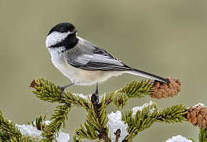 Black-capped Chickadee (Poecile atricapillus), Texas  -  Alan Murphy