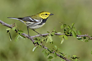Black-throated Green Warbler (Setophaga virens) male, Texas  -  Alan Murphy