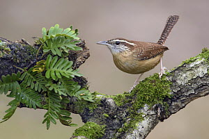 Carolina Wren (Thryothorus ludovicianus) male, Texas  -  Alan Murphy