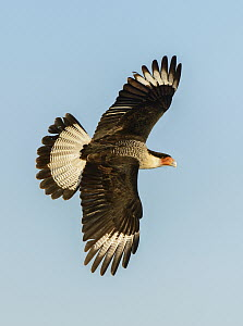 Northern Caracara (Caracara cheriway) flying, Texas  -  Alan Murphy