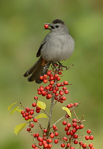 Gray Catbird (Dumetella carolinensis) male feeding on berries, Texas - Alan Murphy