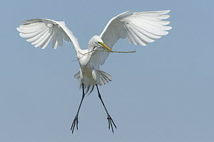 Great Egret (Ardea alba) carrying nesting material, Texas  -  Alan Murphy