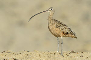 Long-billed Curlew (Numenius americanus), Texas  -  Alan Murphy