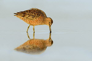 Long-billed Dowitcher (Limnodromus scolopaceus) foraging, Texas  -  Alan Murphy