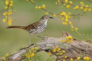 Long-billed Thrasher (Toxostoma longirostre), Texas  -  Alan Murphy