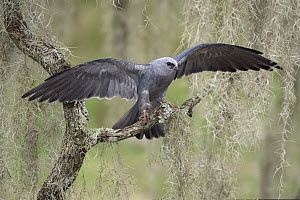 Mississippi Kite (Ictinia mississippiensis) spreading wings, Texas - Alan Murphy