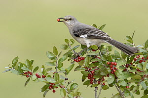 Northern Mockingbird (Mimus polyglottos) feeding on berries, Texas  -  Alan Murphy