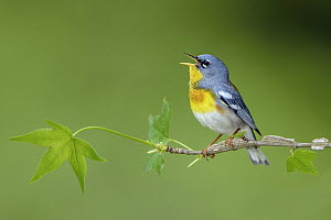 Northern Parula (Setophaga americana) male calling, Texas  -  Alan Murphy