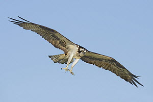 Osprey (Pandion haliaetus) flying with talons out, Texas - Alan Murphy