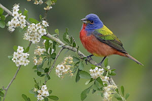 Painted Bunting (Passerina ciris) male, Texas  -  Alan Murphy