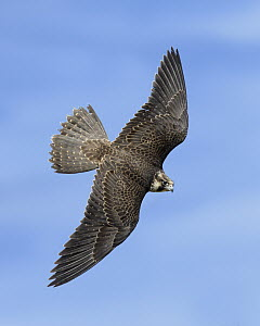 Peregrine Falcon (Falco peregrinus) male flying, Texas  -  Alan Murphy