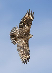 Red-shouldered Hawk (Buteo lineatus) flying, Texas  -  Alan Murphy