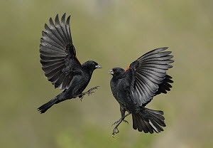 Red-winged Blackbird (Agelaius phoeniceus) males fighting, Texas  -  Alan Murphy
