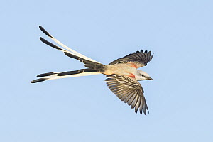 Scissor-tailed Flycatcher (Tyrannus forficatus) male flying, Texas  -  Alan Murphy