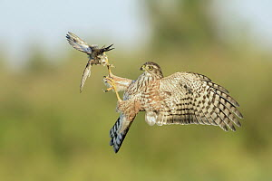 Sharp-shinned Hawk (Accipiter striatus) attacking bird in flight, Texas  -  Alan Murphy