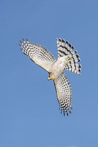 Sharp-shinned Hawk (Accipiter striatus) flying, Texas  -  Alan Murphy