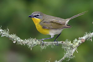 Yellow-breasted Chat (Icteria virens), Texas  -  Alan Murphy