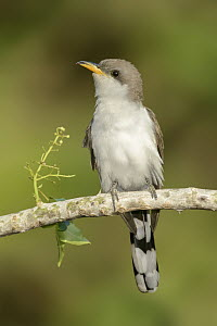 Yellow-billed Cuckoo (Coccyzus americanus) male, Texas  -  Alan Murphy