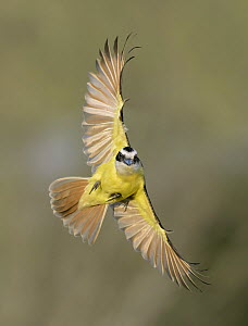 Great Kiskadee (Pitangus sulphuratus) flying, Texas  -  Alan Murphy
