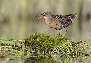 Virginia Rail (Rallus limicola) calling, British Columbia, Canada  -  Alan Murphy