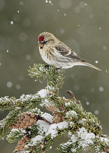 Common Redpoll (Carduelis flammea) during snowfall, Alaska  -  Alan Murphy