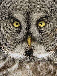 Great Gray Owl (Strix nebulosa) face, Alaska  -  Alan Murphy