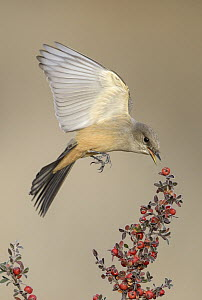 Say's Phoebe (Sayornis saya) picking off berries in flight, New Mexico  -  Alan Murphy
