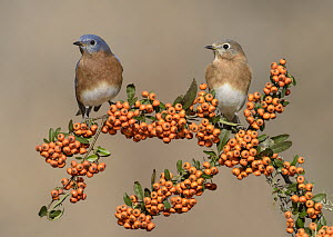 Eastern Bluebird (Sialia sialis) male and female, Texas  -  Alan Murphy