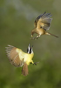 Clay-colored Thrush (Turdus grayi) and Great Kiskadee (Pitangus sulphuratus) pair fighting, Texas  -  Alan Murphy