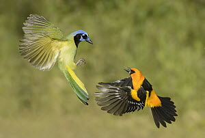 Green Jay (Cyanocorax yncas) and Altamira Oriole (Icterus gularis) fighting in flight, Texas  -  Alan Murphy