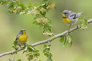 Northern Parula (Setophaga americana) pair, Texas  -  Alan Murphy