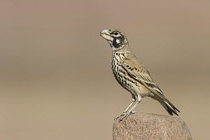 Thick-billed Lark (Ramphocoris clotbey) male, Eilat, Israel - Avi Meir