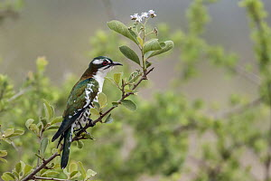 Dideric Cuckoo (Chrysococcyx caprius), Mpumalanga, South Africa  -  Heini Wehrle