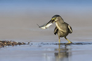 Striated Heron (Butorides striata) with fish prey, Eilat, Israel - Avi Meir