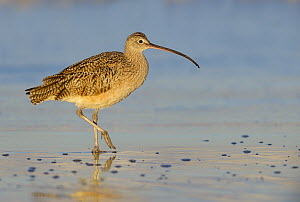 Long-billed Curlew (Numenius americanus), California  -  Tim Zurowski