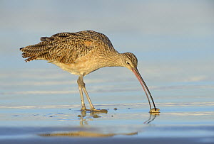 Long-billed Curlew (Numenius americanus) foraging, California  -  Tim Zurowski