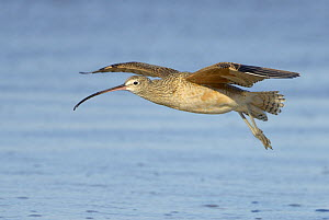 Long-billed Curlew (Numenius americanus) flying, California  -  Tim Zurowski