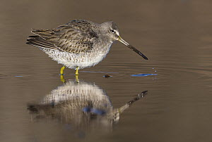 Long-billed Dowitcher (Limnodromus scolopaceus) foraging, British Columbia, Canada - Tim Zurowski