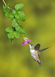 Rufous Hummingbird (Selasphorus rufus) female feeding on flower nectar, British Columbia, Canada - Tim Zurowski