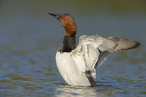 Canvasback (Aythya valisineria) male flapping wings, California  -  Tim Zurowski