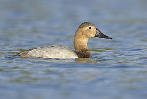 Canvasback (Aythya valisineria) female, California  -  Tim Zurowski