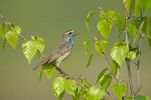 White-spotted Bluethroat (Luscinia svecica cyanecula) male calling, Limburg, Netherlands  -  Christof Wermter