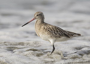 Bar-tailed Godwit (Limosa lapponica), Gambia  -  David Williams